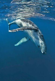 Humpback whale diving into the blue depths. Aleutian Islands, Alaska.