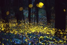 Long exposure of fireflies, just before dark. By Rel Ohara.