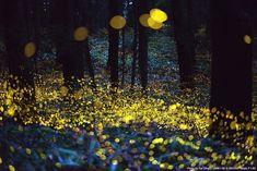 Long exposure of fireflies, just before dark. By Rel Ohara.