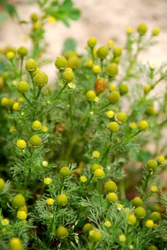 Pineapple Weeds. The buds taste like...Pineapple :)