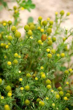 Pineapple Weeds. The buds taste like...Pineapple :)