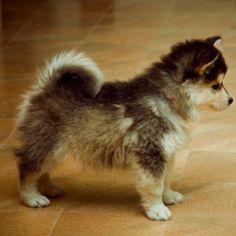 Cutest puppy ever!! Pomeranian Husky