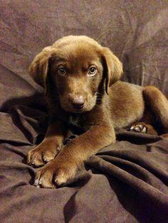 Our new chocolate lab Australian shepherd mix puppy, Bentley! So precious.