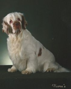 English Clumber Spaniel #rabbithouses Clumber Spaniel Puppy, Cocker Spaniel Puppies, Spaniel Dog, Spaniels, Springer Spaniel, Animals And Pets, Cute Animals, Medium Dogs, My Animal