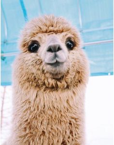 What people don't realize is Alpacas are SO much better then Llamas Baby Animals Pictures, Cute Animal Photos, Animals And Pets, Cute Pictures, Cute Puppies, Cute Dogs, Cute Babies, Cute Little Animals, Cute Funny Animals