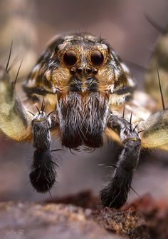 Wolf Spider Wolf Spider, Itsy Bitsy Spider, Jumping Spider, Hamster, Beautiful Bugs, Types Of Animals, Bugs And Insects, Mundo Animal, Amazing Spider