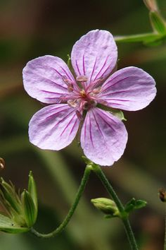 Geranium krameri - Flickr - Photo Sharing!