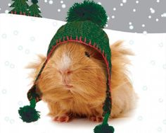 guineapiggies: in the snow!