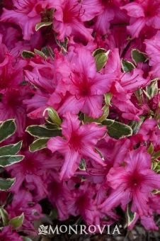 Silver Sword Azalea Evergreen small shrub 2-3 T 2-4 W. Filtered sun Blooms early spring. (I seen at nursery & like the variegated leaf)