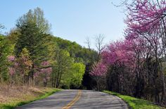 redbud trees - Google Search