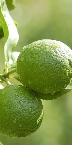 Limes- must have in my kitchen...use it for drinks...facial masks...etc...love it! :>