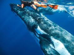 swimmimg with humpback whales