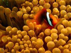 #clownfish #anemone #philippines