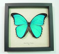 Morpho menelaus pucallpensis real Blue butterfly butterflies from Peru framed in an Archival Conservation Display