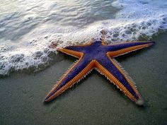 Starfish, among the most familiar of marine animals found on the seabed, they typically have five arms, though some species have many more. Many species are brightly colored in reds or oranges, while others are blue, grey, brown, or drab. Starfish have tube feet operated by a hydraulic system and a mouth at the centre of the lower surface. They are  mostly predators.They have complex life cycles and can reproduce both sexually and asexually. Most can regenerate damaged or lost arms.