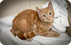 Boy George is a kitten up for adoption at the Humane Society of New York.