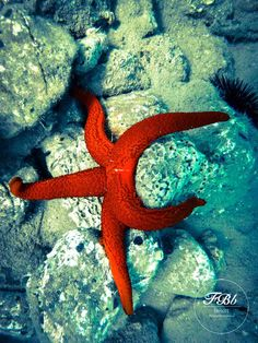 We love starfish! We have even placed some around our main entrance signs and logos.   The real ones are what you have to see for yourselves though!   How? By visiting Florida Blue Bay Resort and joining our diving groups!