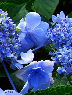 agoodthinghappened:    A Touch of Blue  http://www.flickr.com/photos/linda_230/