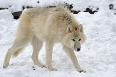 wolf by Josef Gelernter