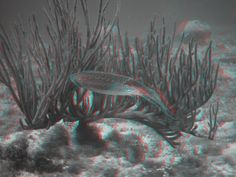 3D anaglyph...one of my favorite shots I took in Curaçao - a squid just chillin'.