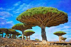 ドラゴンツリーと呼ばれる木。 枝が上部に密集した姿が、椎茸のよう。