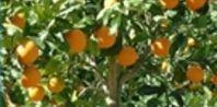 Grow an orange tree