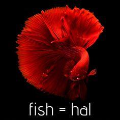Picture of a siamese fighting fish Betta Aquarium, Betta Fish, Betta Tank, Fish Aquariums, Carpe Koi, Fish Wallpaper, Black Wallpaper, Iphone Wallpaper, Siamese Fighting Fish