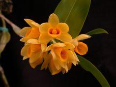 Dendrobium sulcayum