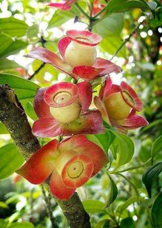 Blakea gracilis seed pods..