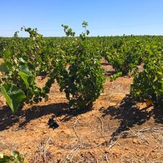 Mourvèdre is such a beautiful variety to manage as a bushvine with its neat vertical shoots! #BosstokEnKoffieklip