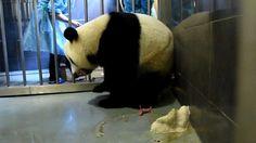 """Clarín HD - Nacen pandas gemelos en Macao. El panda gigante Xinxin y sus primer cachorros recién nacidos permanecen en Macao, en el sur de China. Las autoridades de asuntos civiles de la Región Administrativa Especial de Macao de China anunciaron esta noche que por la tarde su panda """"Xinxin"""" dio a luz a gemelos, la primera vez que nacen pandas en la región. """"Xinxin"""" dio a luz al primer osezno a las 15:45 hora local, y al segundo a las 16:27 horas. Tuvieron un peso, respectivamente, de apenas…"""