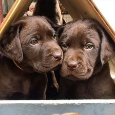 Discover The Active Black Labrador Retriever Dog Grooming rescue shelter cats society retriever dog Labrador Retrievers, Labrador Retriever Chocolate, Labrador Retriever Negro, Schwarzer Labrador Retriever, Labrador Puppies, Retriever Puppies, Rottweiler Puppies, Lab Puppies, Cute Puppies
