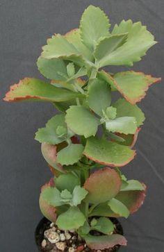 Hiedra leaves and plants - Planta verbena cuidados ...