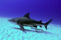 Bull_Shark_Playa_del_Carmen_Dive_Cenotes_Mexico