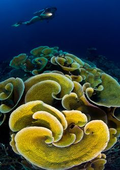Yellow-cabbage coral photo by Noam Kortler