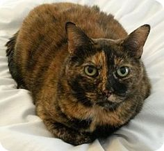 Pictures of Ginger a Domestic Shorthair for adoption in Oak Ridge, TN who needs a loving home.