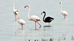 A black flamingo, Cyprus