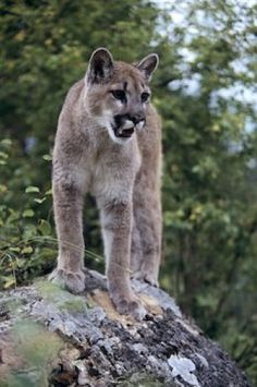 Picture of a cougar atop a boulder in British Columbia, Canada.