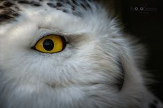 Sharp eye II - Close-up of a snowy owl - these eyes are absolutely fascinating!!