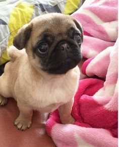 Baby Pug trying to look innocent