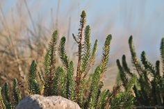 https://flic.kr/p/D57rvH | Euphorbe maritime (Euphorbia paralias), Sea Spurge