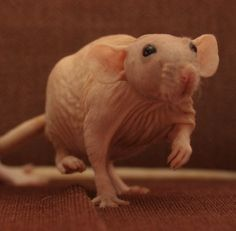 ♡♡♡¡♡! Funny Rats, Cute Rats, Fluffy Animals, Cute Animals, Hairless Rat, Dumbo Rat, Rodents, Hamsters, Cool Pets