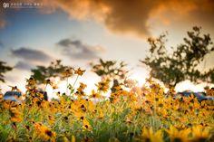 [루드베키아] 부산 삼락공원  #루드베키아, #삼락공원, #꽃, #스냅