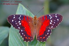 This Scarlet Peacock Butterfly (Anartia amathea) is native to South America.