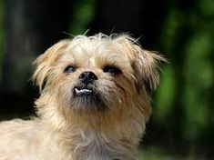 Links to amazing Brussels Griffon dog breed merchandise. Fantastic gifts for Brussels Griffon lovers Cavalier King Charles, Charles Spaniel, Brussels Griffon Puppies, Griffon Dog, Pug, Chihuahua, Dog Breeds List, Cute Dogs Breeds, Bichon Frise