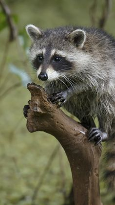 1080x1920 Wallpaper raccoon, tree, branch, striped