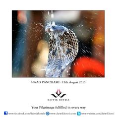 NAAG PANCHAMI :11th August-   This festival is celebrated on the fifth day of the shukla paksha of the month of Shravan. During the rains the snakes come out and as there is the fear of snake bite, they are worshipped by people. In Hindu mythology the family of snakes or nagas plays an important role. For example the Sheshnaag shelters Lord Vishnu under its seven hoods and Lord Shiva always wears a snake around his neck like a necklace. On this day snakes are fed milk and rice.