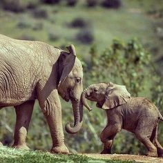 Young elephants playing discovered by Fred on We Heart It All About Elephants, Elephants Playing, Save The Elephants, Baby Elephants, Beautiful Creatures, Animals Beautiful, Cute Baby Animals, Funny Animals, Elephant Love