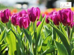 LAS MEJORES FLORES A DOCMICILIO. Los tulipanes son de las flores más elegantes y bellas que existen, la forma de sus pétalos, sus colores brillantes y su aroma, la hacen una especie única. En Lilium queremos ofrecerle los diseños elaborados con los tulipanes, más frescos y hermosos, le invitamos a conocerlos en nuestra página de internet www.lilium.mx, dónde podrá elegir el que mejor exprese lo que siente.