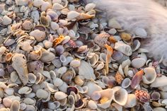 size: Photographic Print: Incoming Surf and Seashells on Sanibel Island, Florida, USA by Chuck Haney : Subjects Large Sea Shells, Shells And Sand, Shell Beach, Seashell Identification, Cleaning Sea Shells, Us Islands, Paper Plate Crafts For Kids, Vacation Memories, Scallop Shells